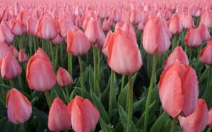 tulipany38